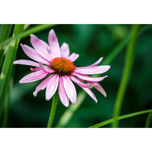 A purple echinacea flower growing in a field.
