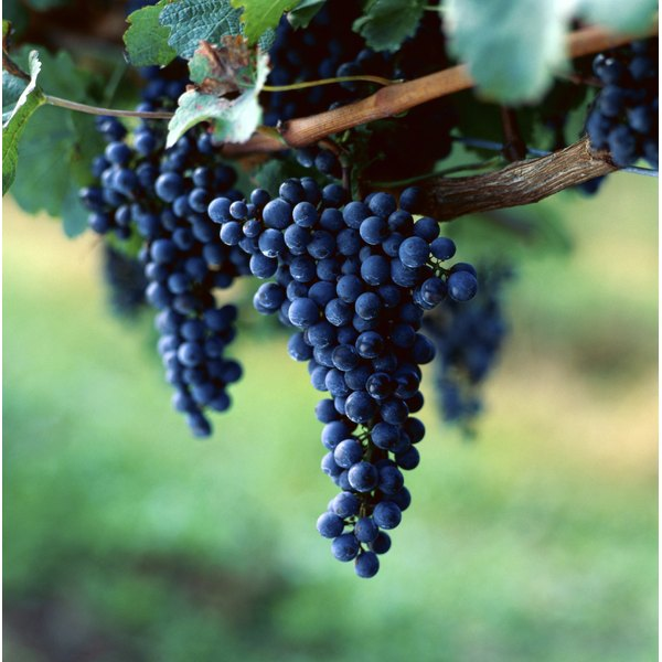 Grapes growing on a vine in a natural setting.