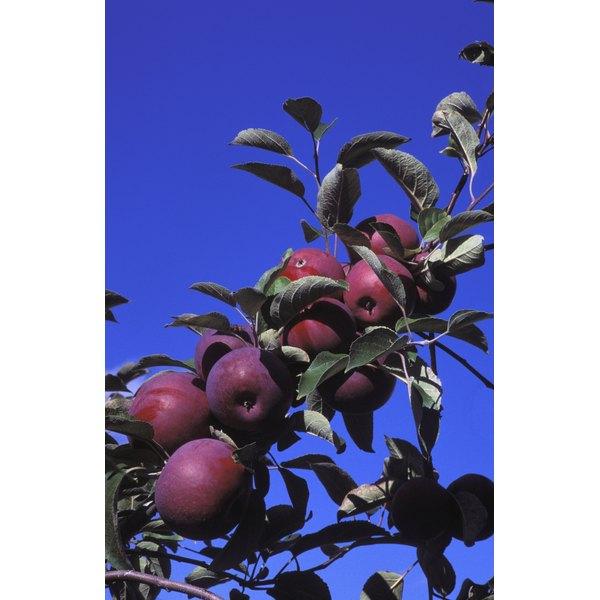 Apple cider vinegar starts out on the tree.