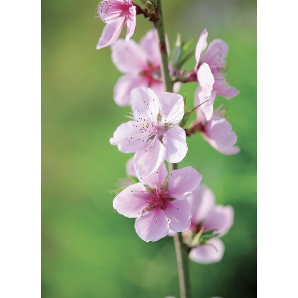 Peach blossoms are considered omens of good luck.