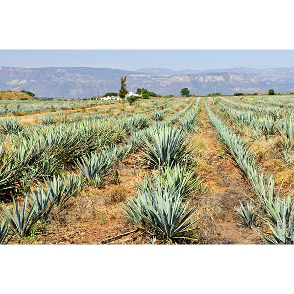 A view of an agave farm in Mexico.