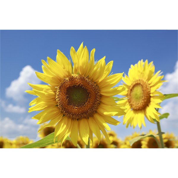Sunflower seeds are an uncommon but dangerous allergen.