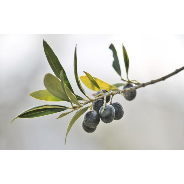 Olive leaf extract may hold the key to healing for a variety of skin conditions.