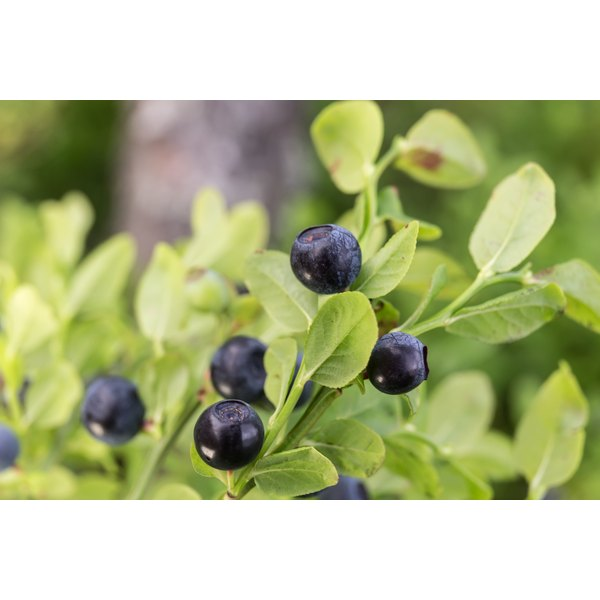 Ripe blueberries growing on a branch.