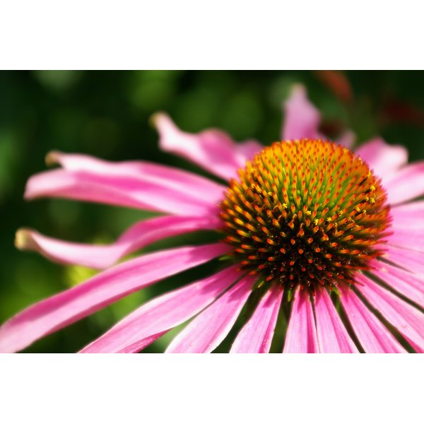 A close-up of an echinacea flower.