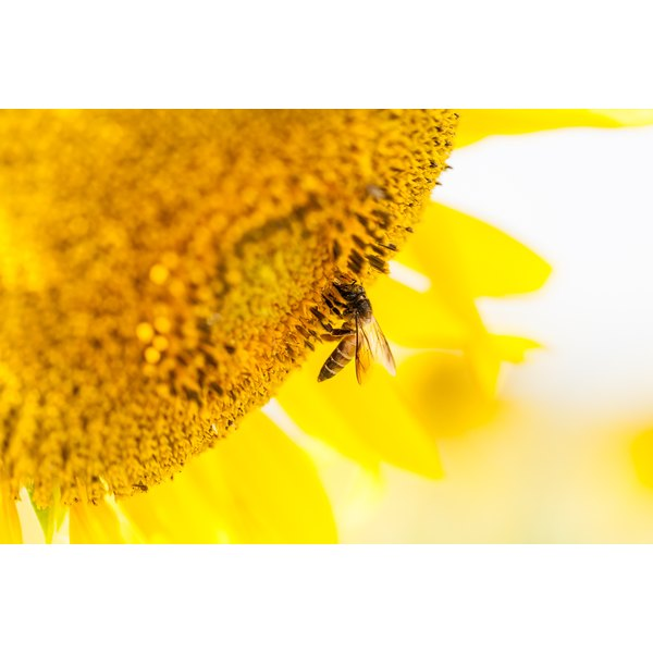 A bee is standing on the head of a sunflower.