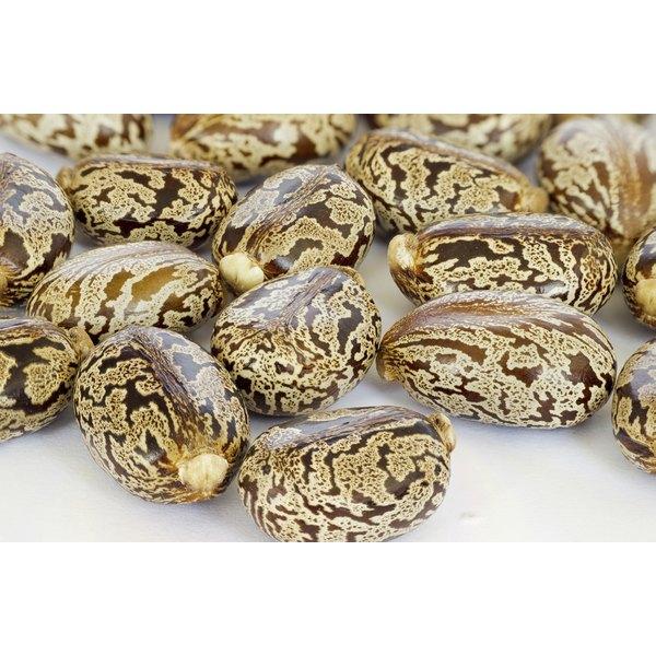 Castor oil seeds.