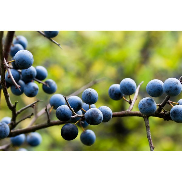 Close-up of wild berries on a branch.