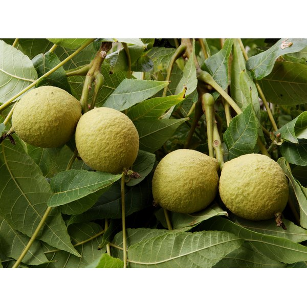 Black walnuts growing on a tree