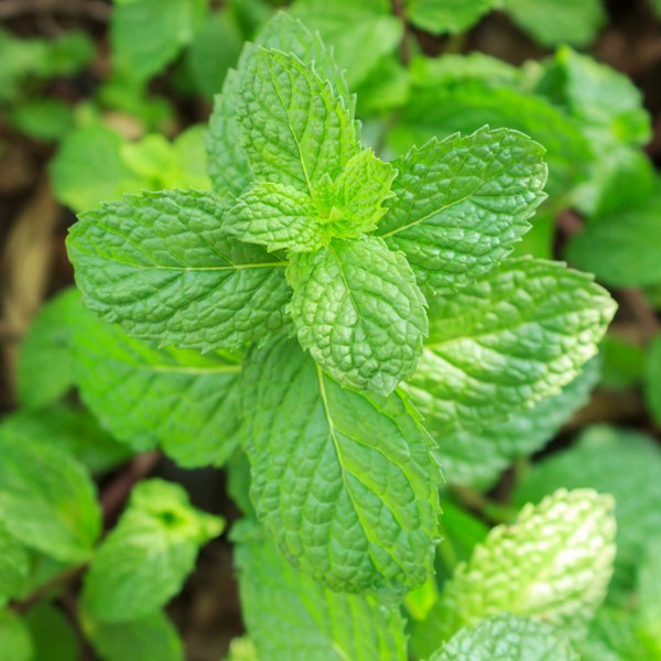 Peppermint oil is a natural product made by drying and heating peppermint leaves.