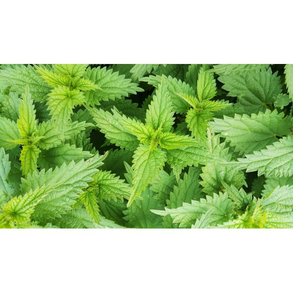 Oregon's wild stinging nettles are edible -- but take care to avoid getting stung.