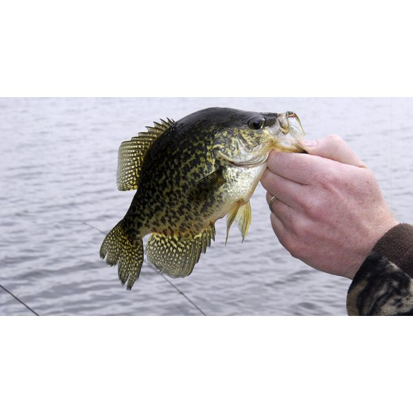A fisherman holding a freshly caught crappie.