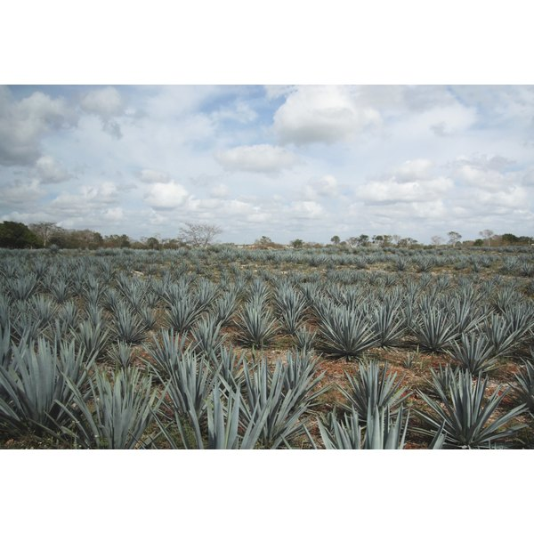 A field of agave plants grow in a field.