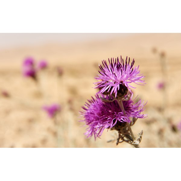 Milk thistle plants growing in a desert.