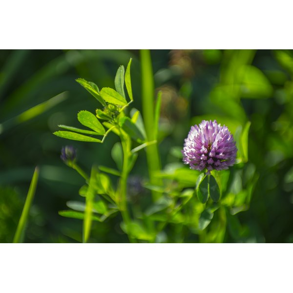 A red clover plant growing in a field.