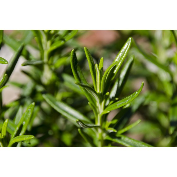 A close-up of a rosemary plant growing in a garden.