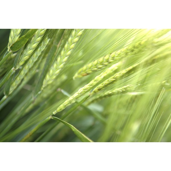 Wheat germ is responsible for the growth of the wheat plant.