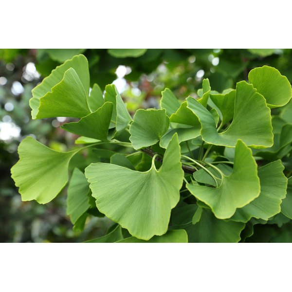 A close-up of ginkgo biloba leaves,