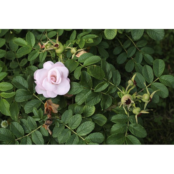 A pink Knock Out rose blooms in shrub with more buds visible.