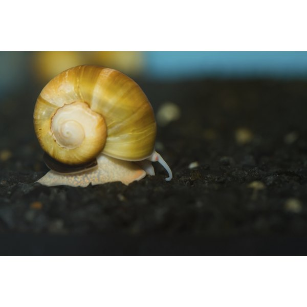 Apple snails are larger than other types of snails and their meat can be delicious.