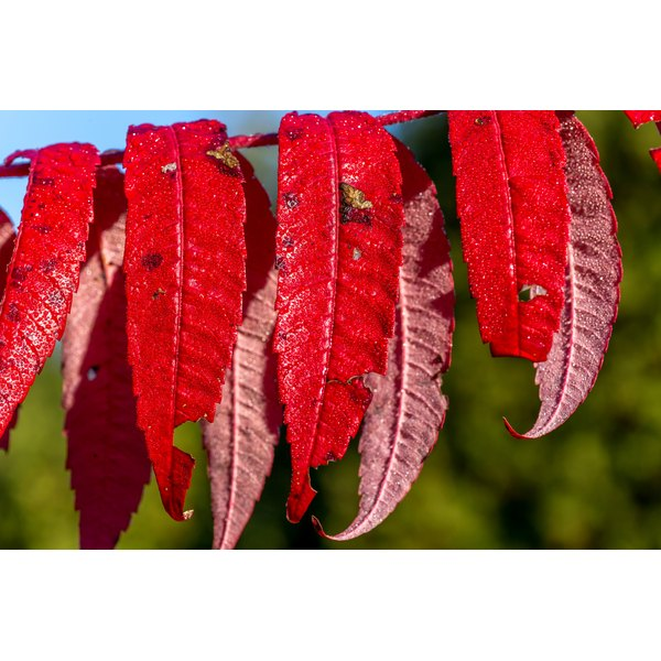 Do not touch ornamental varieties of sumac because they cause contact dermatitis.