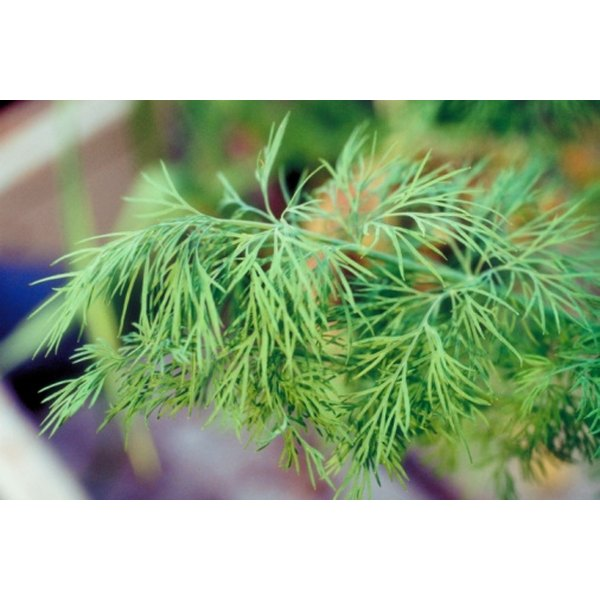 Dill adds flavor to many dishes.