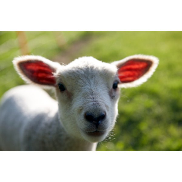 Fedoras can be made from sheep's wool.