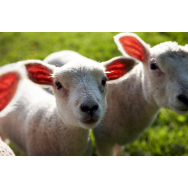 The average weight of a slaughtered lamb is 140 lbs., according to the United States Department of Agriculture.
