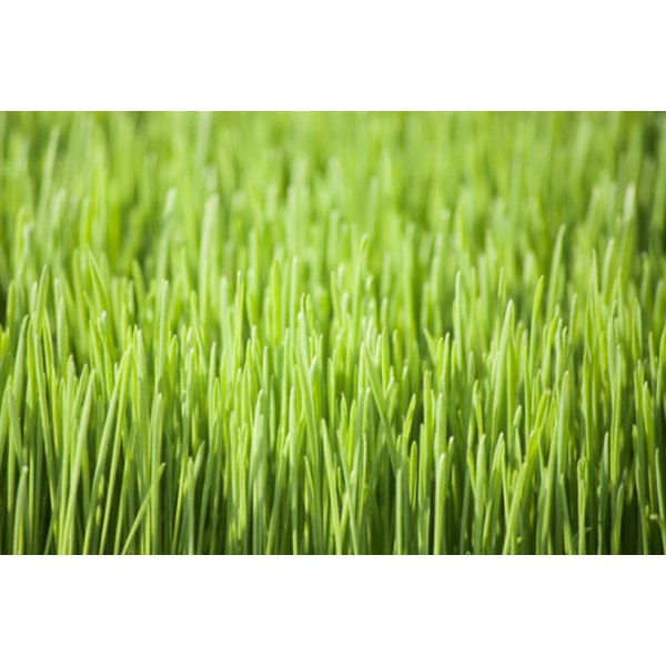 Wheatgrass belongs to the wheat family and is high in nutrients.