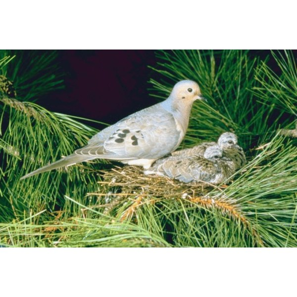 The mourning dove contains only a small amount of meat.
