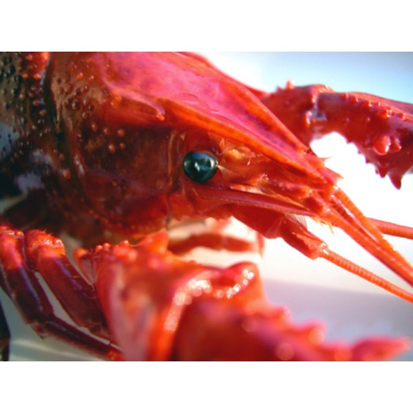 Close up of live crawfish being prepared for cooking.