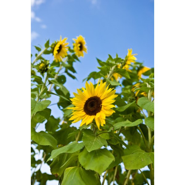 Sunflower seeds are high in calcium.