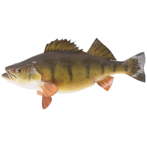 White perch is a small fish found in coastal, brackish and fresh water.