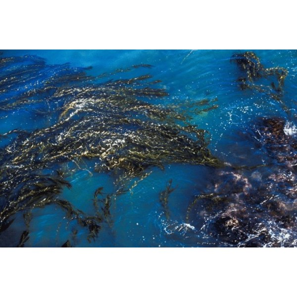 Kelp and other forms of algae are rich in nutrients.