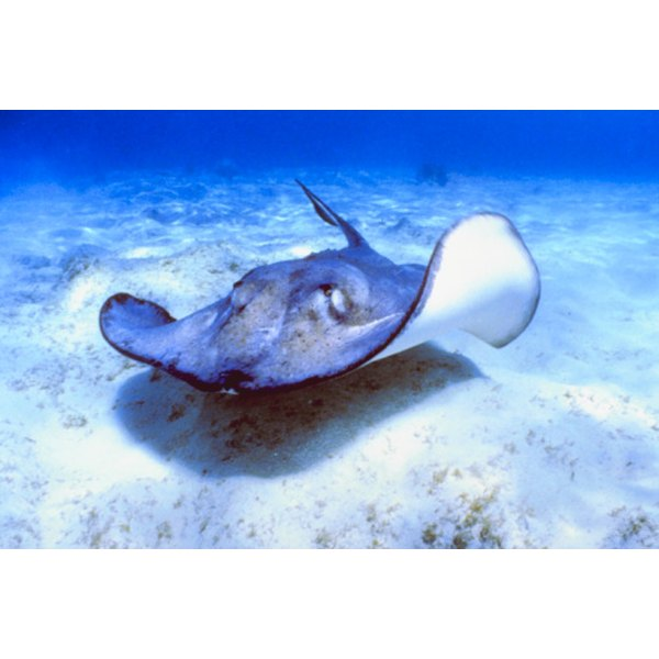 The stingray is native to the Atlantic and Pacific waters.