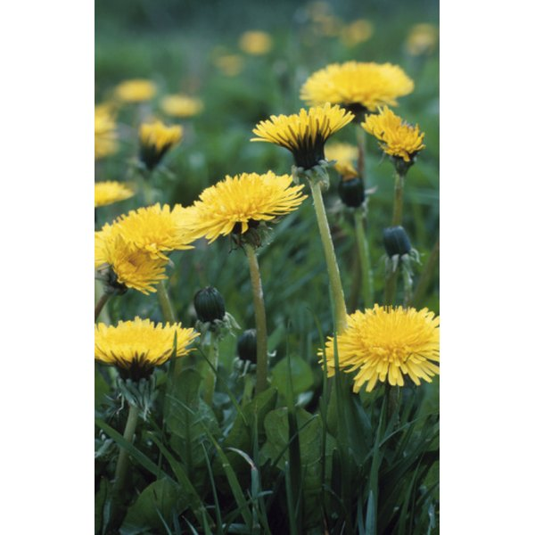 Although considered an obnoxious weed, dandelions may help certain health conditions.