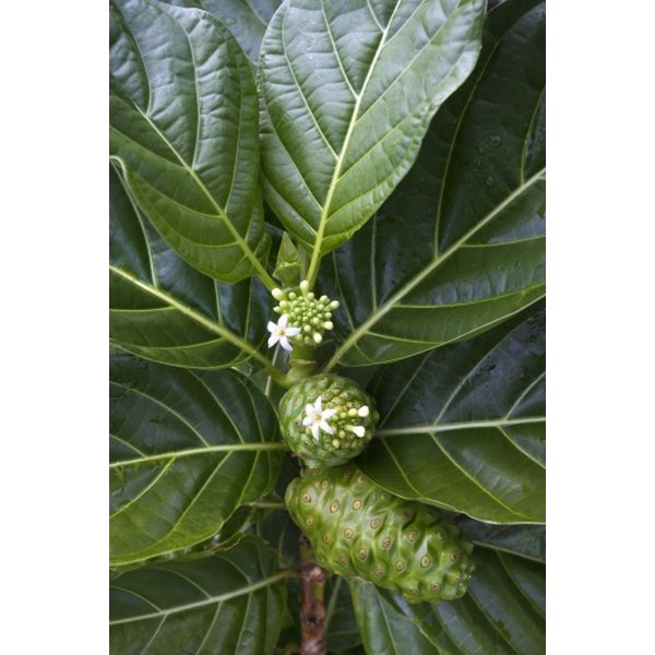 Noni capsules may provide health benefits.