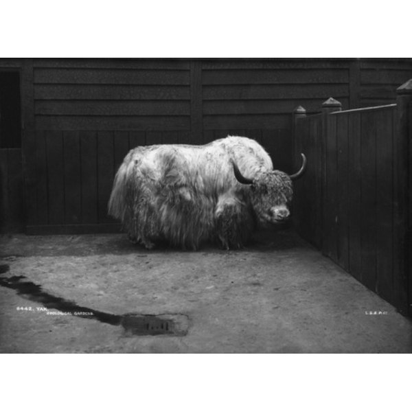 Yaks resemble bison in overall physical form and in the quality of meats they provide.