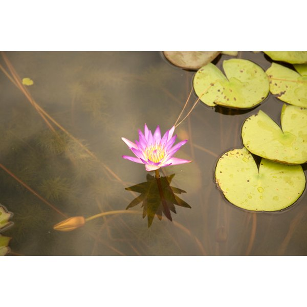 Lotus leaf may have potenial use as a weight-loss aid.