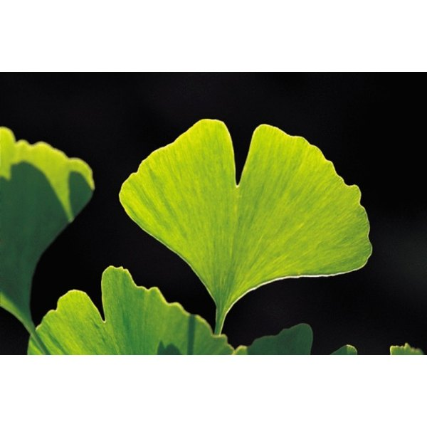 Ginkgo may help improve autism symptoms.