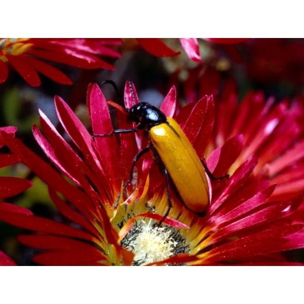 The body of a blister beetle contains the toxin cantharadin.