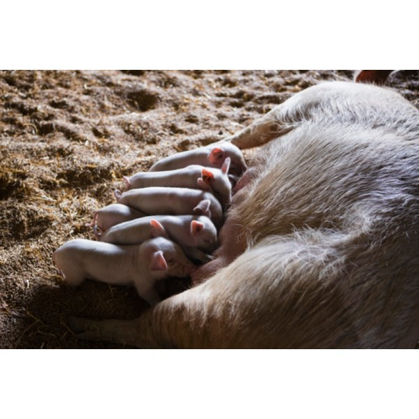 Pigs have litters of piglets.
