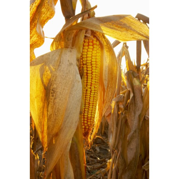 Corn is concentrated into high-fructose corn syrup.