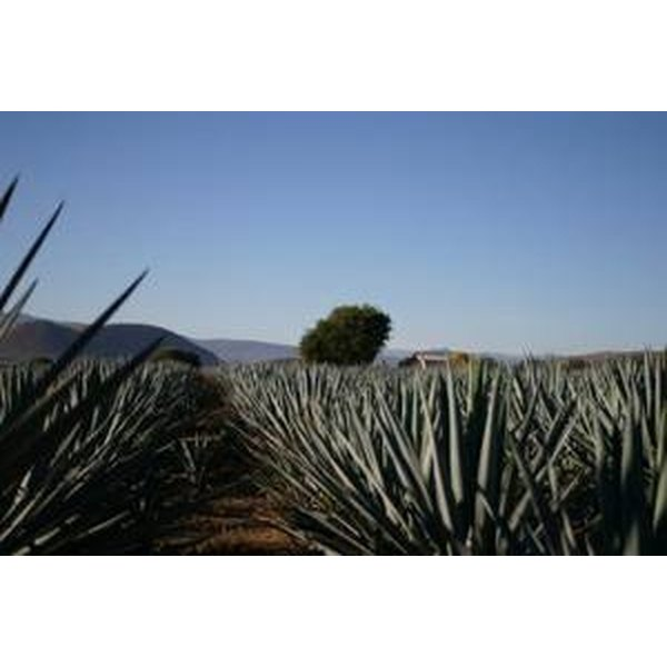 From What Kind of Plant Is Tequila Extracted?