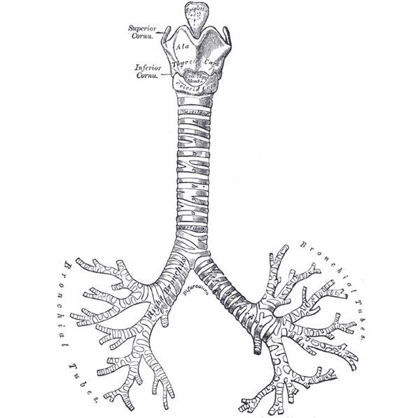 Illustration of the bronchial tubes