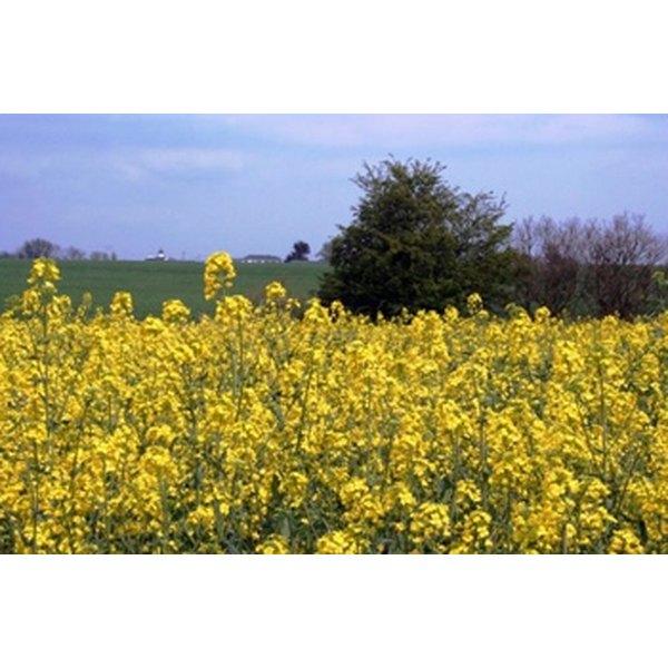 Canola Flower Field.