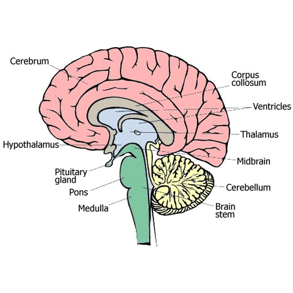 What the Different Parts of the Brain Do?