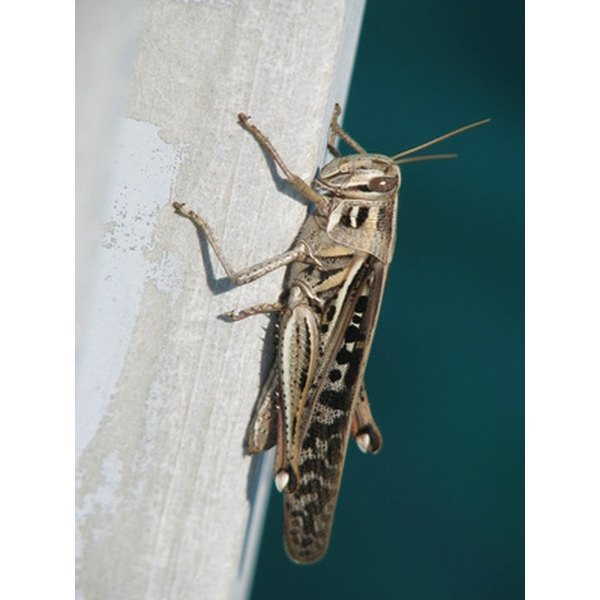 Why Is A Cricket A Sign Of Good Luck Synonym