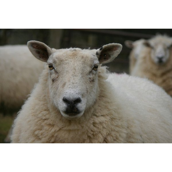 Anemia in sheep may be caused by excessive internal parasites.