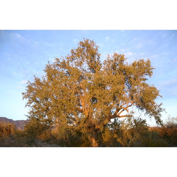 Mesquite trees are found throughout the southwestern United States.